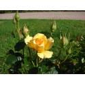 Rose AMBER QUEEN ® Harroony