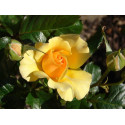 Rosier AMBER QUEEN ® Harroony