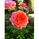 Rosa AMOUR DE MOLENE ® Adaruocal