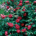 Rose BENJAMIN BRITTEN ® Ausencart
