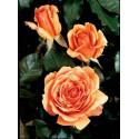 Rose BORA BORA ® Tanmarsa