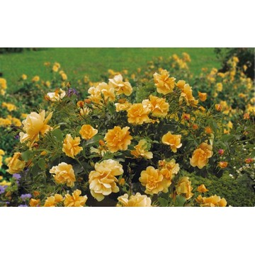 Rosa CALIZIA ® Noa97400A