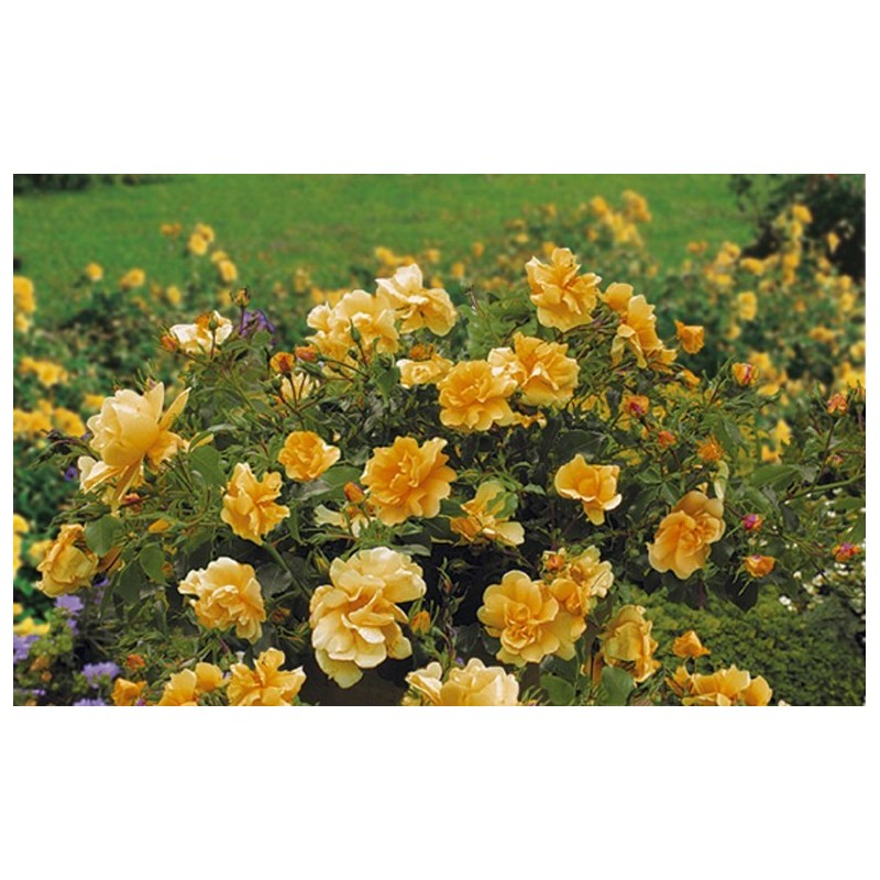 Rose CALIZIA ® Noa97400A