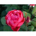 Rose CHERRY BONICA ® Meipeporia