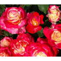 Rosier DOUBLE DELIGHT ®