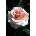 Rosa FANNY ARDANT ® Adarocona