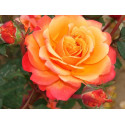 Rosa FRENESIE ® Adarifer