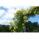 Rose GOLDEN AGE ® Adadenoj
