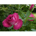 Rosier HOT PINK ® Dorgevi