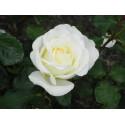 Rosa IRINA BONDARENKO ® Tan 07117