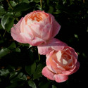 Rose ISABELLE AUTISSIER ® Adasilthé