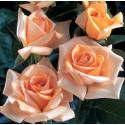 Rose JOLIE MOME ® Fryxotic