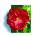 Rosal Llorón 120 cm KADORA ® Noatraum