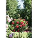 Rose bush Small ROD 70-80 cm KADORA ® Noatraum