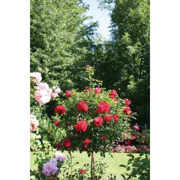 Rose bush Small ROD 70-80...