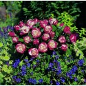 Rose STEM 100 cm LA GARCONNE ® Taneiglat