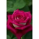 Rose MONICA BELLUCCI ® Meimonkeur