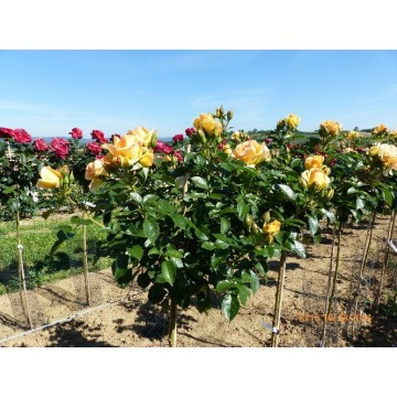 Rose STEM 100 cm MYTHICAL ®...
