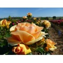 Rose STEM 100 cm MYTHICAL ® Tan 04603