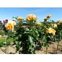 TALLO de rosal 100 cm MYTHIQUE ® Tan 04603