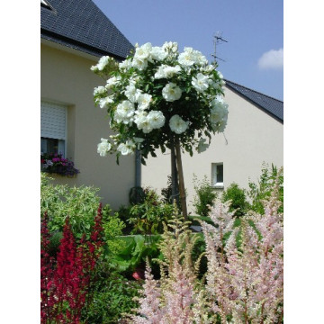 Rose bush Small ROD 70-80 cm OPALIA ® Noaschnee