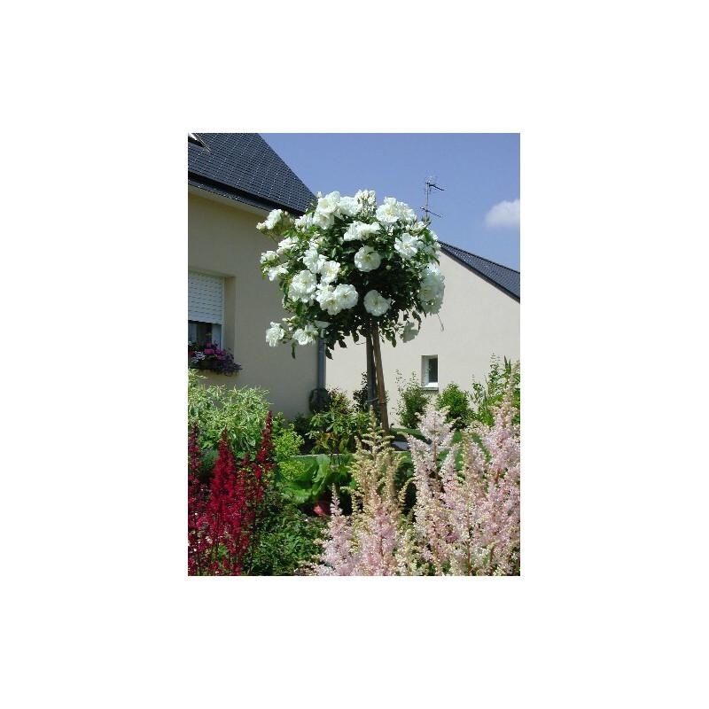 Arbusto de rosas Pequeña VARILLA de 70-80 cm de OPALIA ® Noaschnee