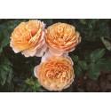 Rosa FRAGANCIA De ORLEANS ® Saunalid