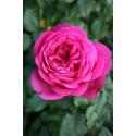 Rosa PARFUM DE HONFLEUR ® Tan04179