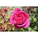Rose PARFUM DE HONFLEUR ® Tan04179