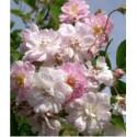 Rose PAULS HIMALAYA MUSK