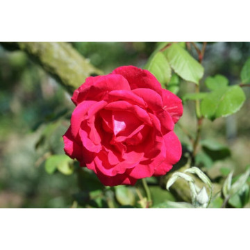 Rose PAUL's SCARLET CLIMBER