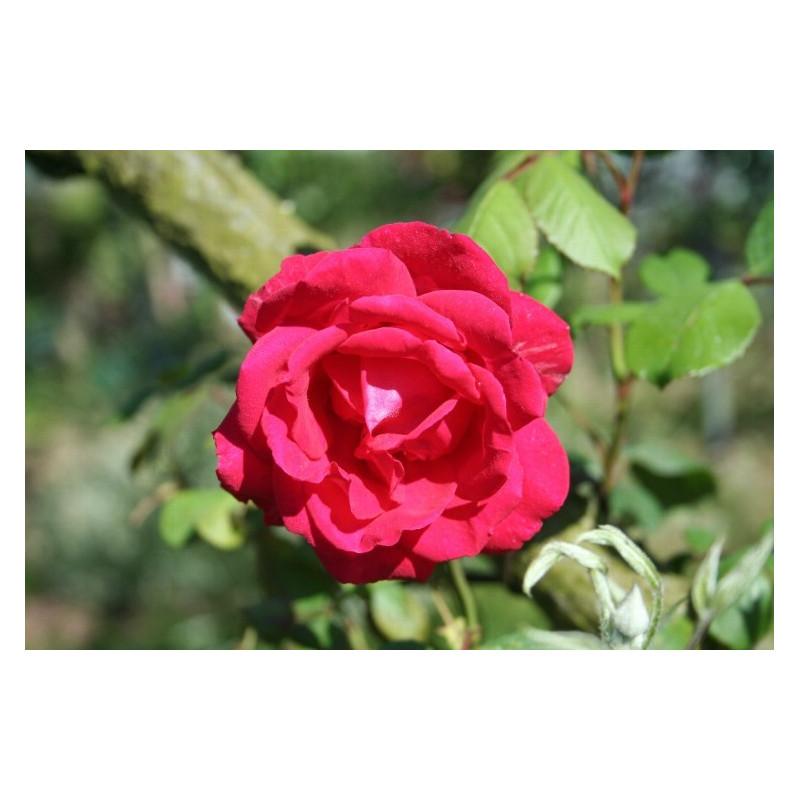 Rose PAULS SCARLET CLIMBER