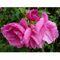 "Rose PIERRETTE Rugosa - ""Ideal for jam and pastry"""