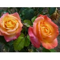 Rose STEM 100 cm PULLMANN ORIENT EXPRESS ®Baipeace