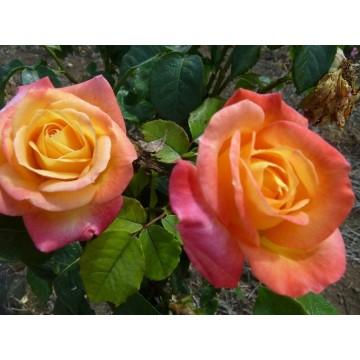 TALLO de rosal de 100 cm de...