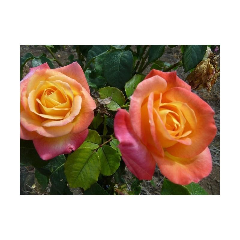 TALLO de rosal de 100 cm de PULLMAN ORIENT EXPRESS ®Baipeace