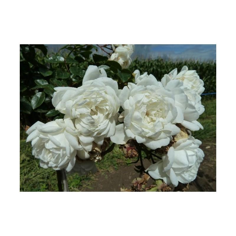 Rose, Überhängend, 150 cm SNOWBALLET ® Claysnow