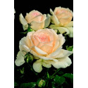 Rosier SWEET LOVE ® Harmisty