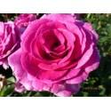 Rosa VIOLETA PARFUMEE ® Dorient