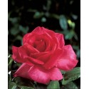 Rose XXL ® Korbilant