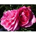 Rosa YVES PIAGET Gpt ® Keitsupiatsu