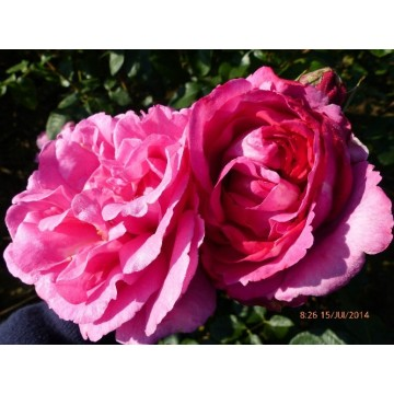 Rosa YVES PIAGET Gpt ®...