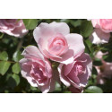 Rosa BONICA ® Meidomonac
