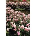 Rose BONICA ® Meidomonac
