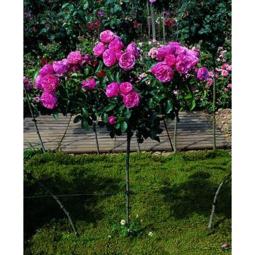 Arbusto de rosas Pequeña VARILLA de 70-80 cm de LEONARD DE VINCI ® Meideauri