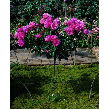Rose bush Small ROD 70-80 cm LEONARD DE VINCI ® Meideauri