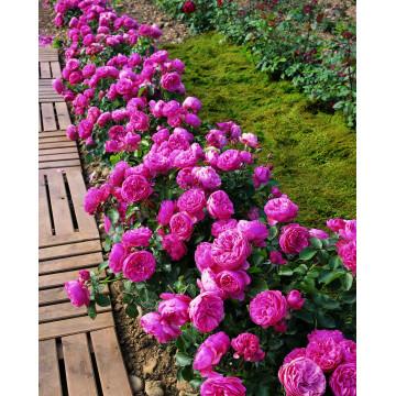 Rose LEONARD deVINCI ® Meideauri