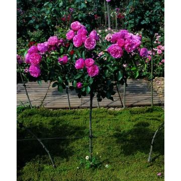 Rose STEM 100 cm LEONARD DE VINCI ® Meideauri