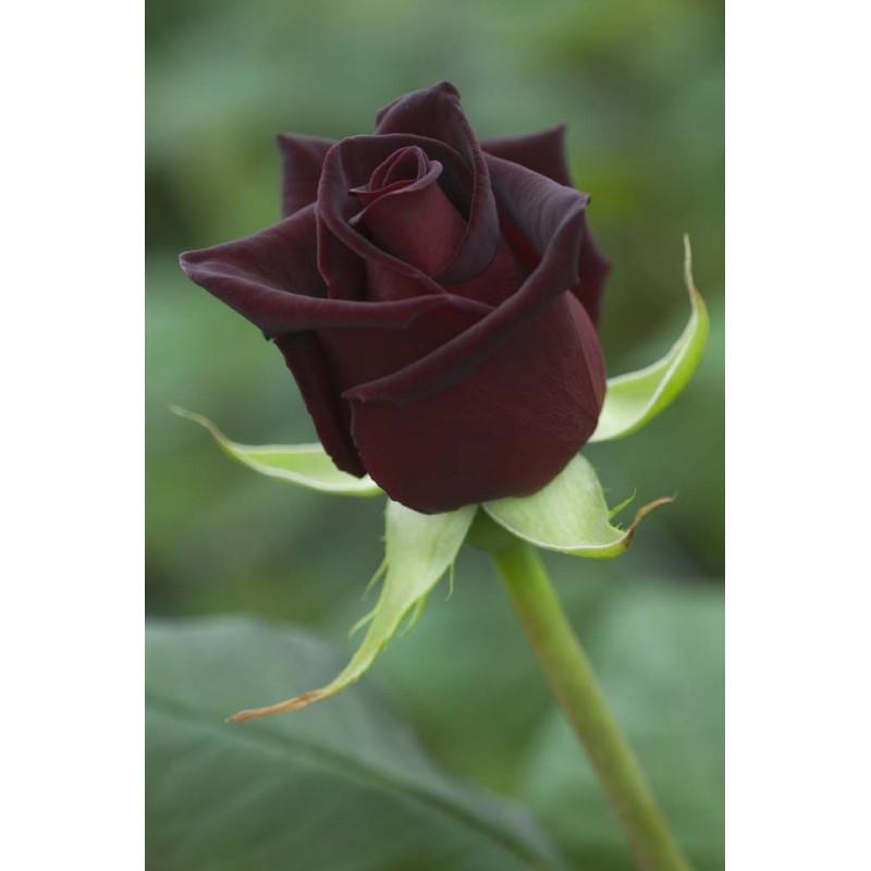 BLACK BACCARA ® Meidebenne (MEILLAND)