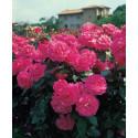 Rose MANOU MEILLAND CLG ® Metu Limonsar